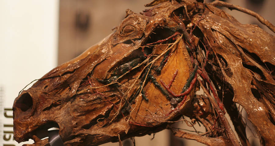 Flayed head of a horse