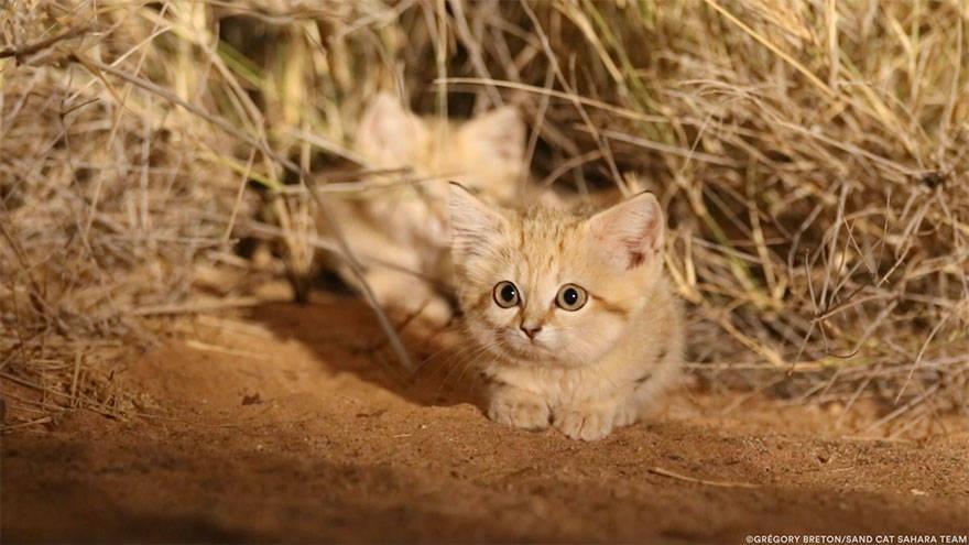 Sand Cat Big Eyes