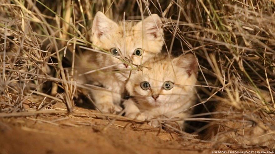 Sand Cat Eyes