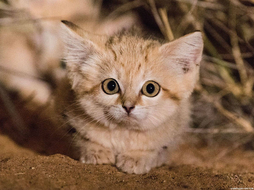 Sand Cat Face Eyes