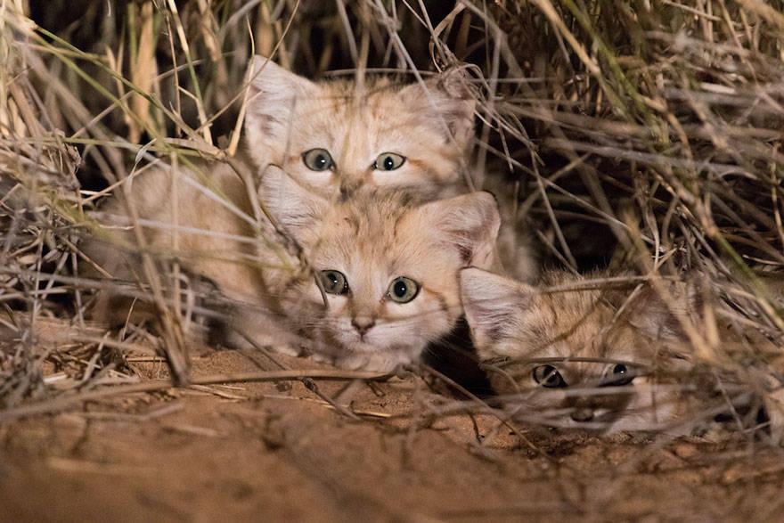 Sand Cats Grass