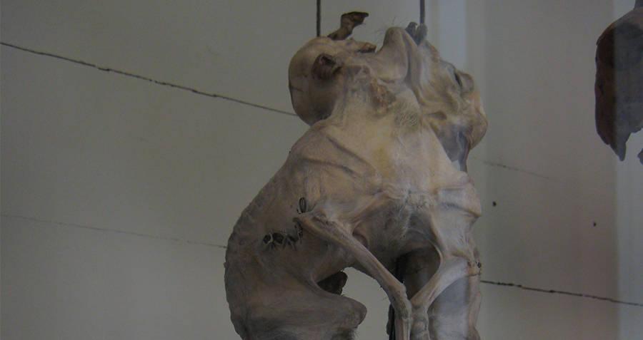 Sheep skeleton at Musee Fragonard