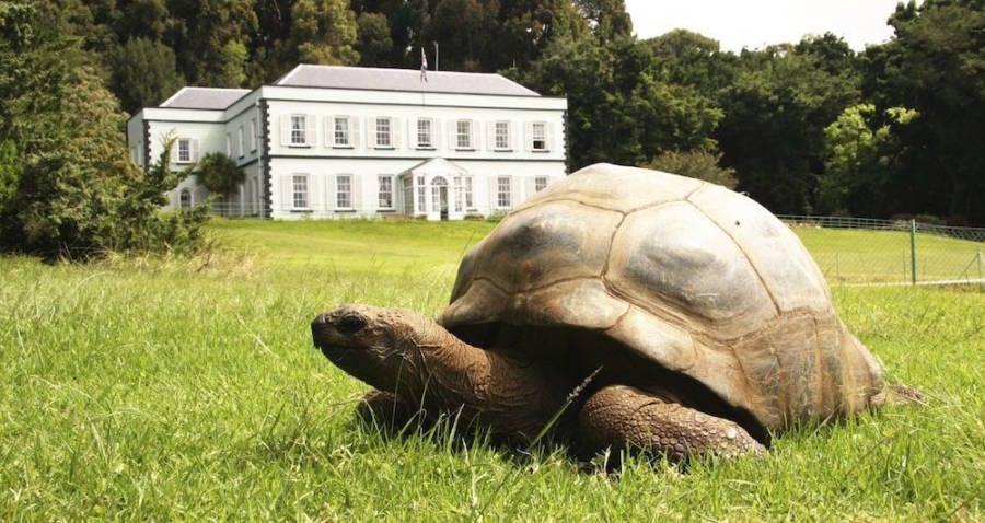 St Helena Tortoise Gay