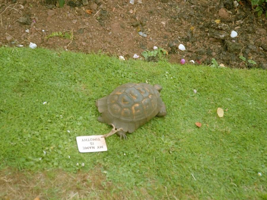 Timothy The Tortoise