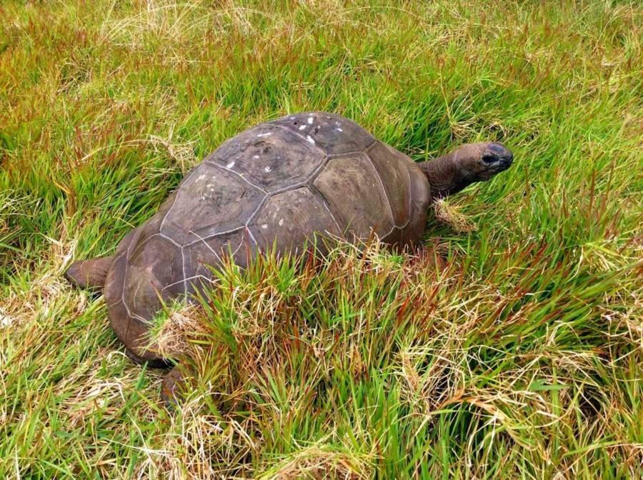Tortoise Frederika