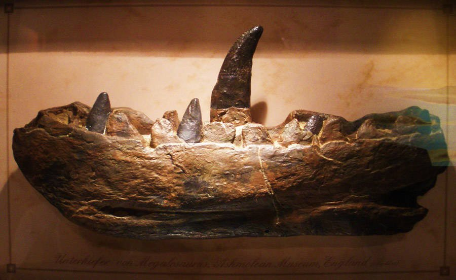 Archaeological Discoveries Megalosaurus dinosaur teeth