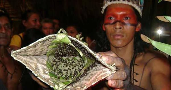 The Excruciating Bullet Ant Glove Test Of The Mawé People ...