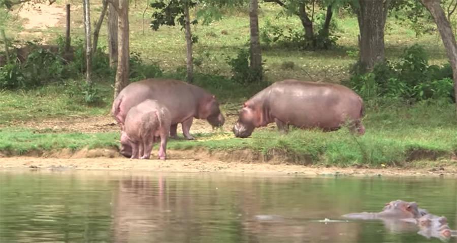Hippos Roaming