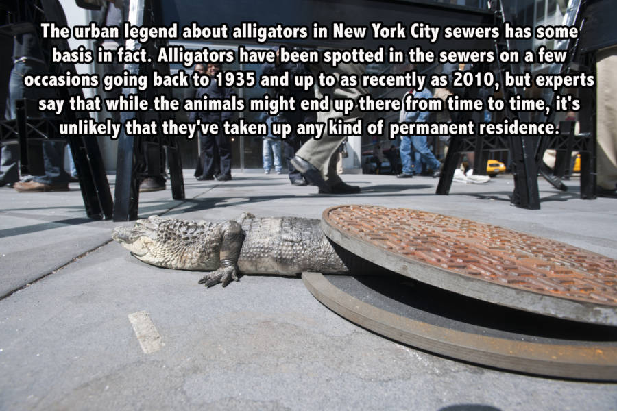 Alligators in NYC sewers