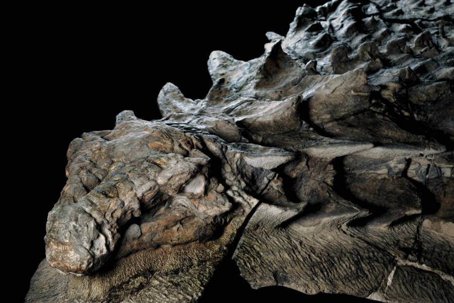 Interesting news Nodosaur dinosaur mummy