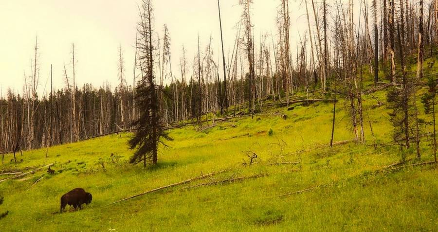 Yellowstone national park forest with a bison roaming
