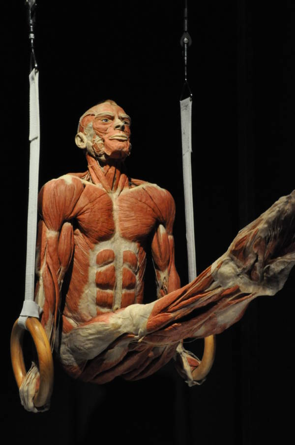 Plastination Gymnast