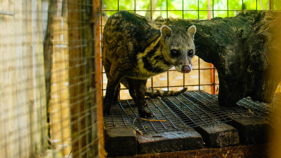 Asian Palm Civet Pacing