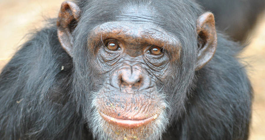 Humans Evolving From Chimpanzees