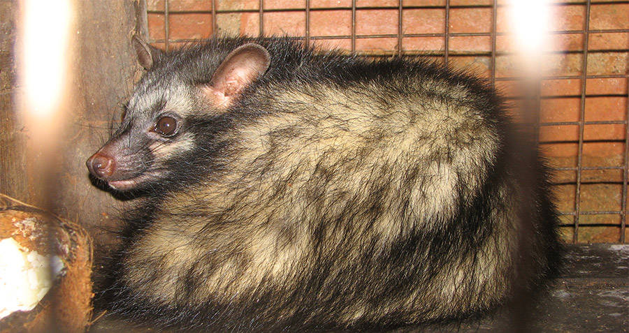 Asian palm civet in captivity