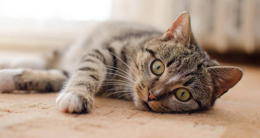 Interesting Random Facts Domestic Cat