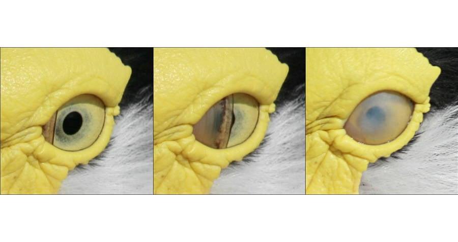 Duck Eye