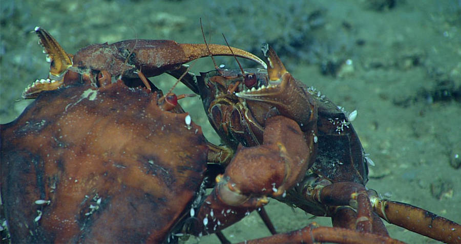 Fighting deep sea crabs