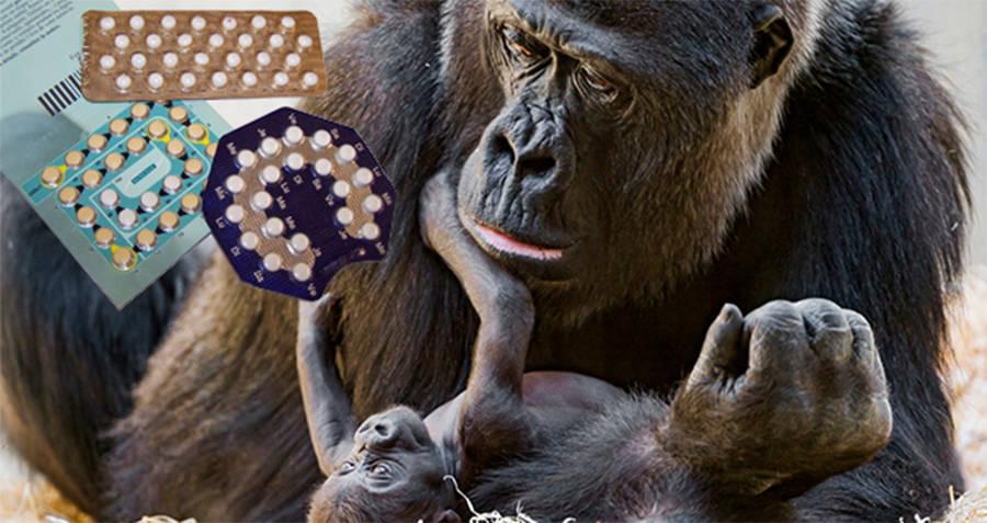 Gorilla Birth Control