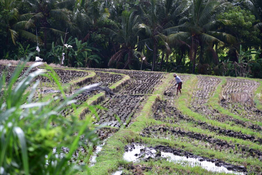 Kopi Luwak Field
