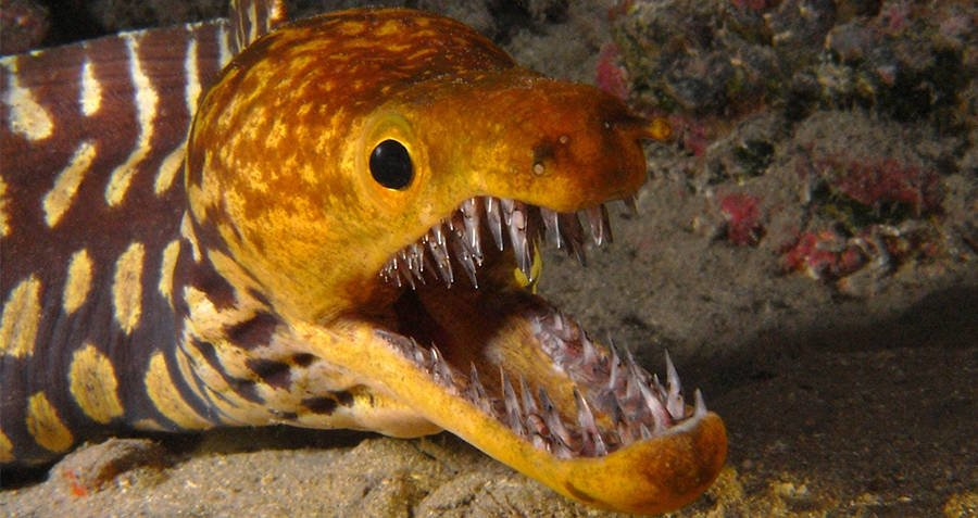 Toothed Eel