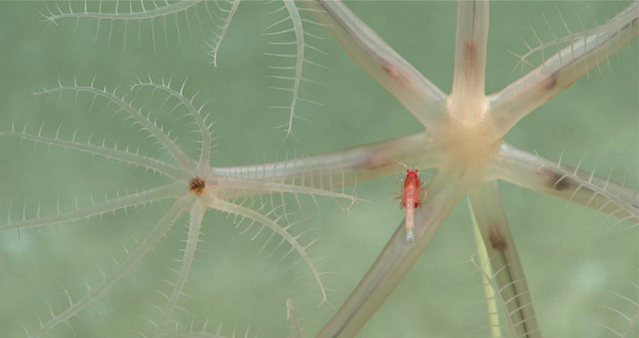 Mysid shrimp hangs on a umbellula sea pen