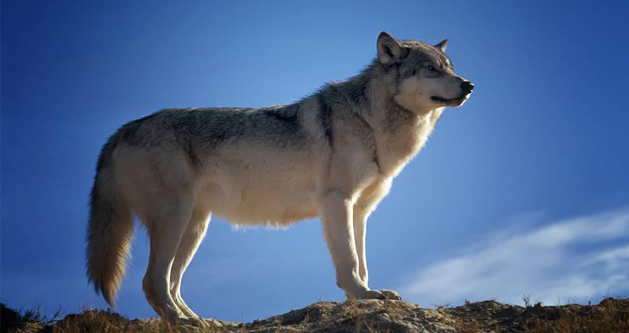 Wolf Interesting Random Facts