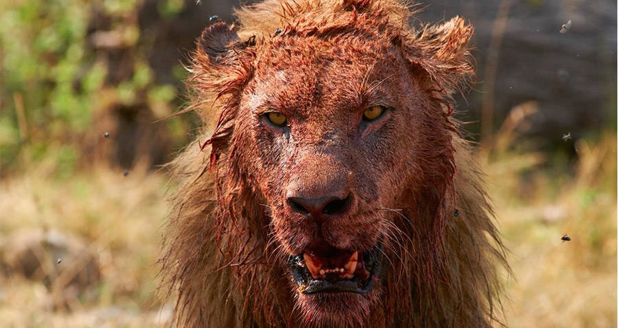 Bloody Lion