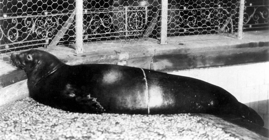 Caribbean Monk Seal Extinct Animals