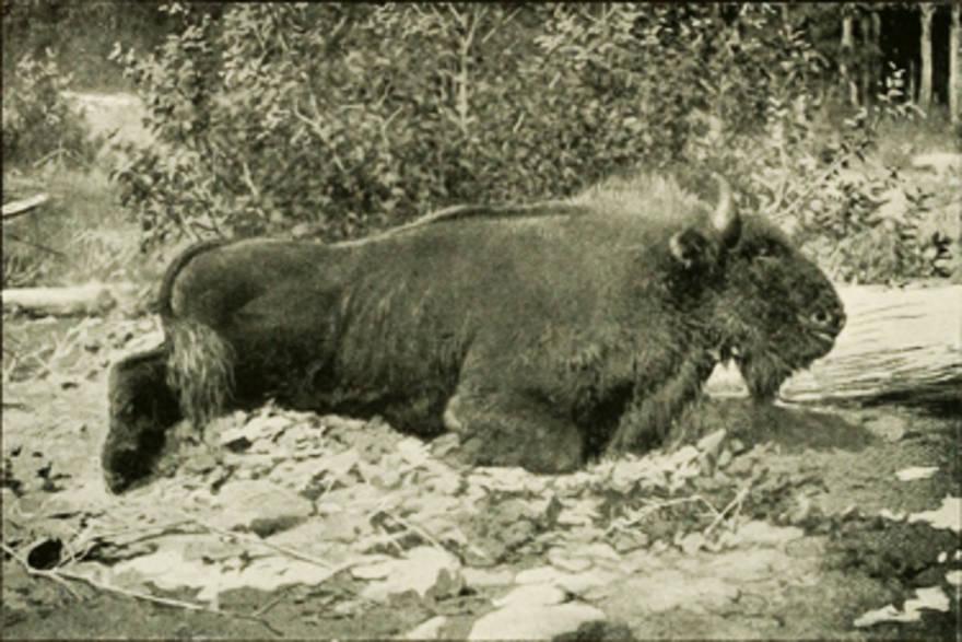 Caucasian Wisent Extinct Animals