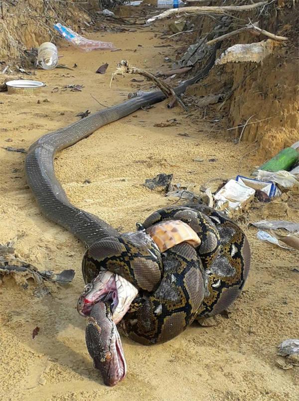 Cobra Python Dead