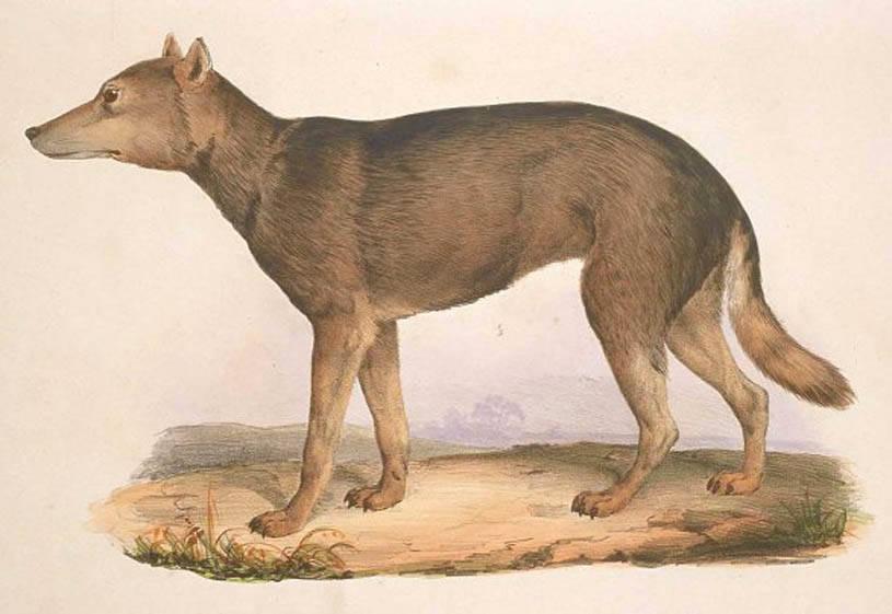 Japanese Honshū Wolf