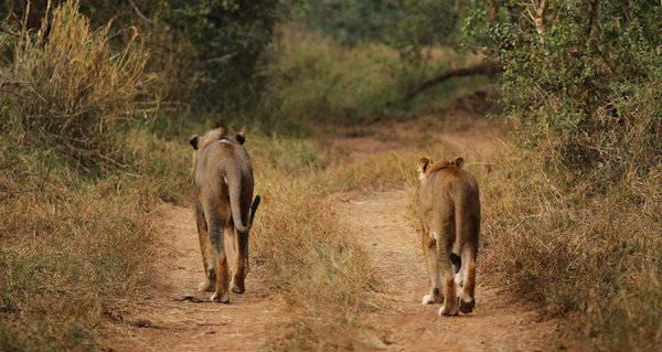 LionsAt Kruger Park