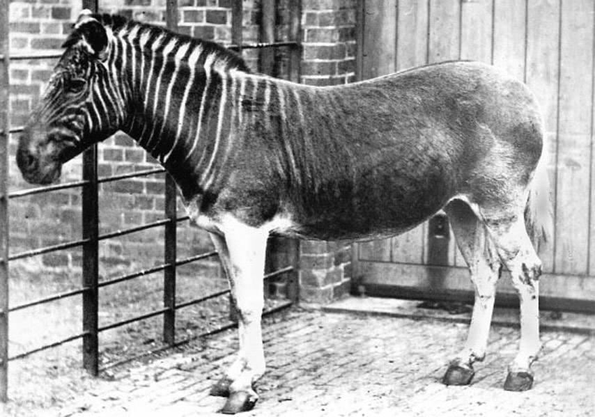 Quagga Extinct Animals