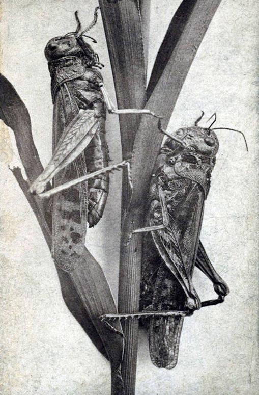 Rocky Mountain Locusts