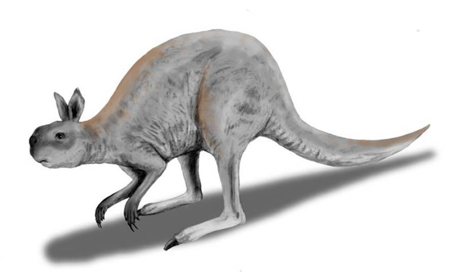 Short Faced Kangaroo
