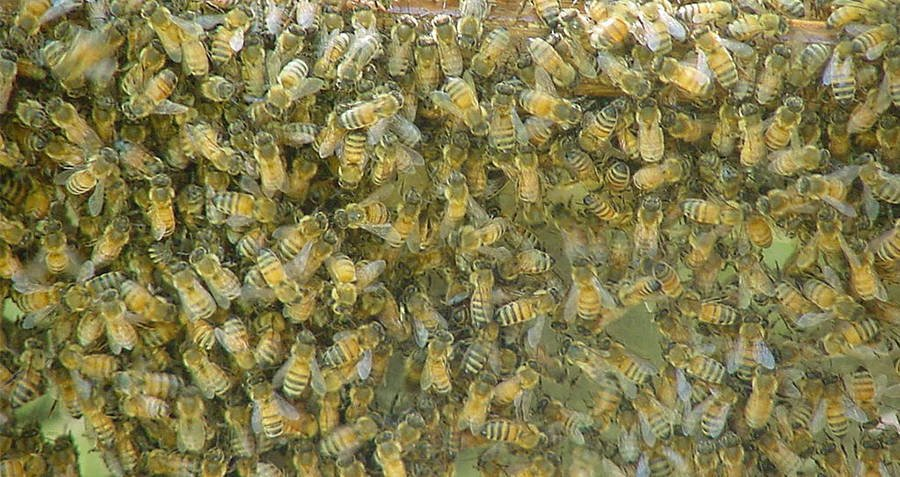 Swarm Of Wasps
