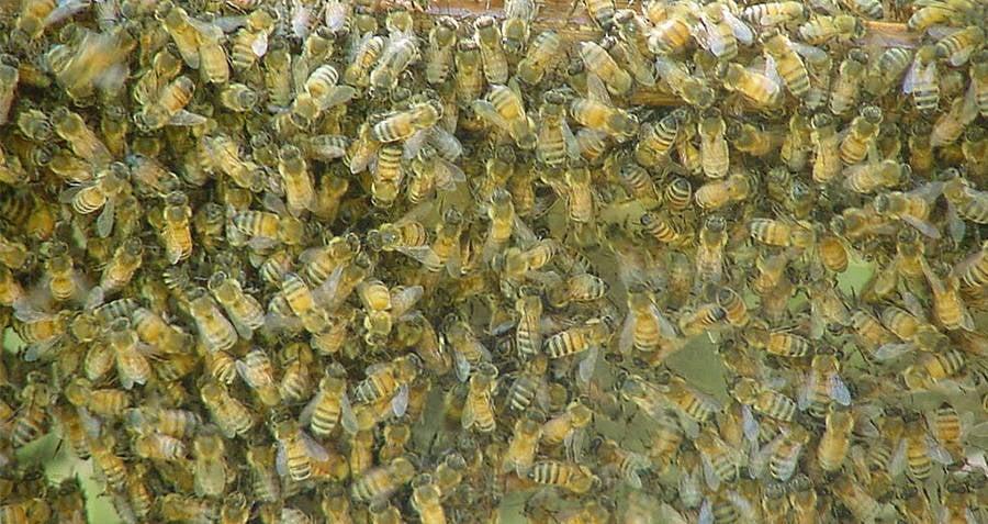 Swarm Of Wasps