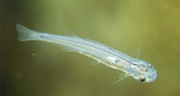 Meet The Candiru: The Penis Probing Fish Of Your Nightmares