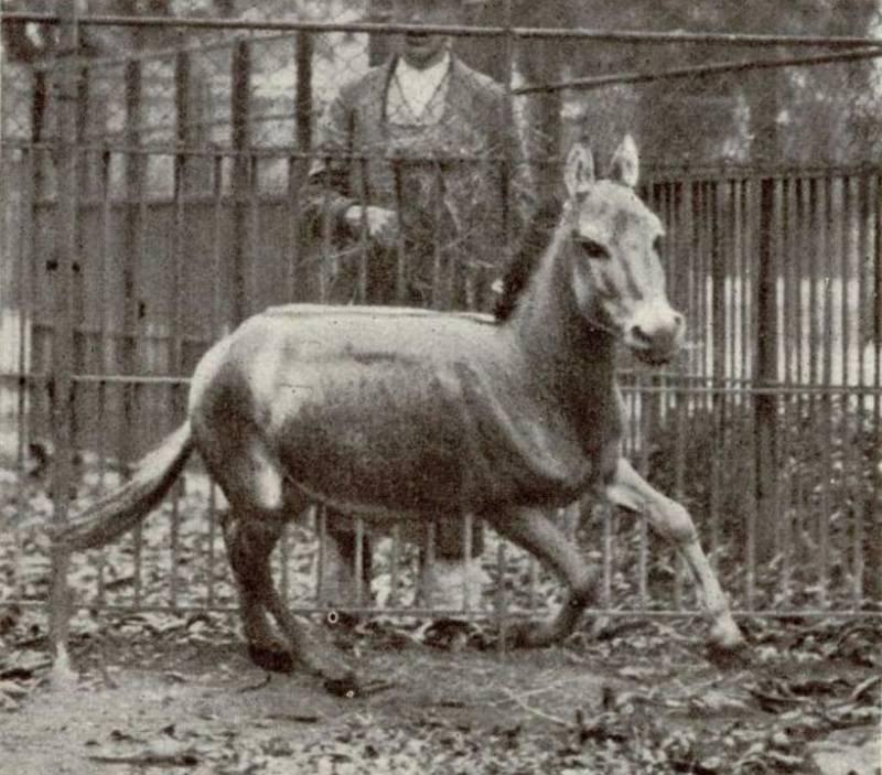 Syrian Wild Ass Extinct Animals