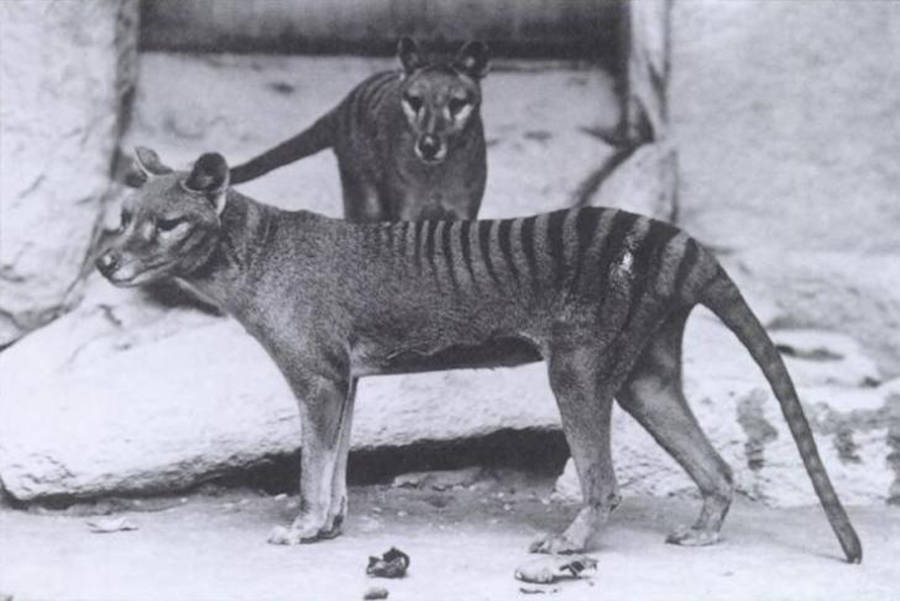 Tasmanian Tiger Extinct Animals