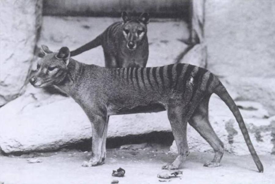 Tasmanian Tiger Extinct Animals