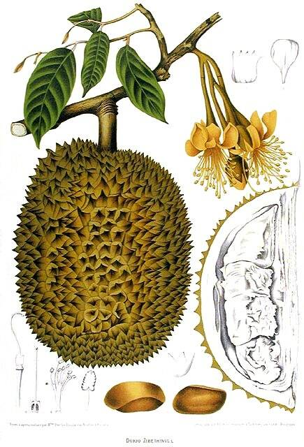 Scientific Illustration Durian