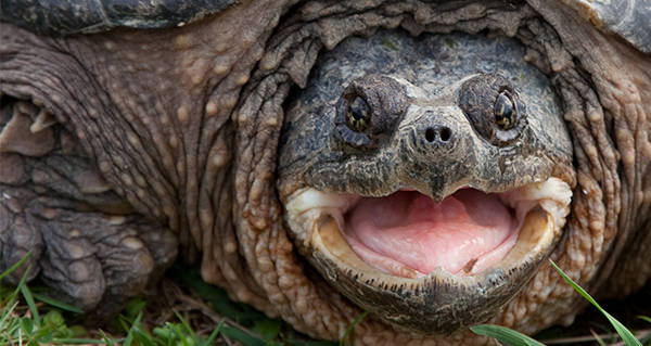 Snapping Turtle Open Mouth