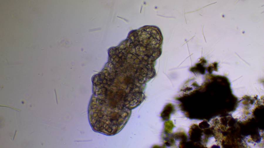 Tardigrade Under A Microscope