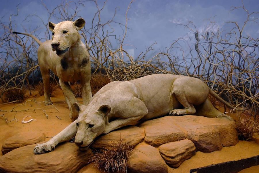 Tsavo Lions Taxidermy