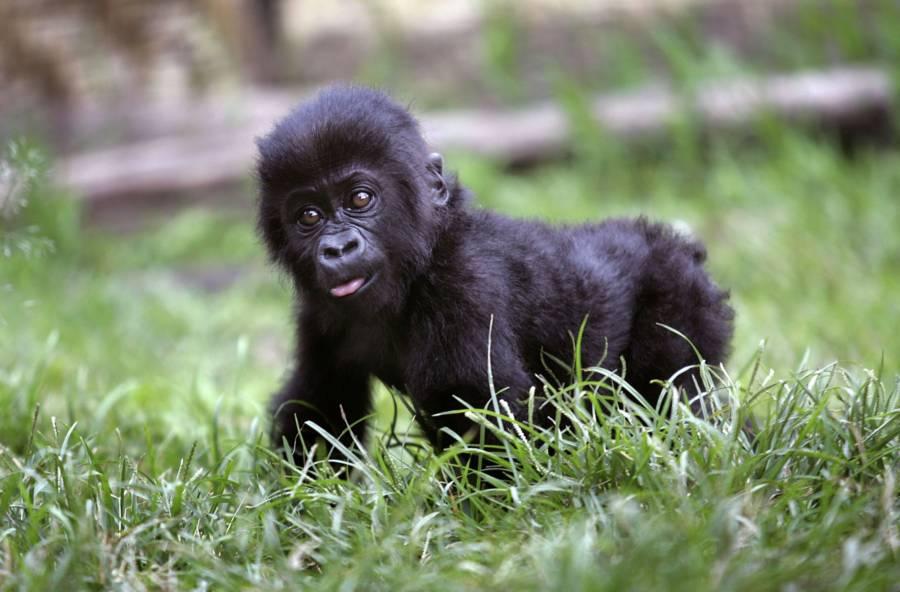 Virunga Gorilla Baby