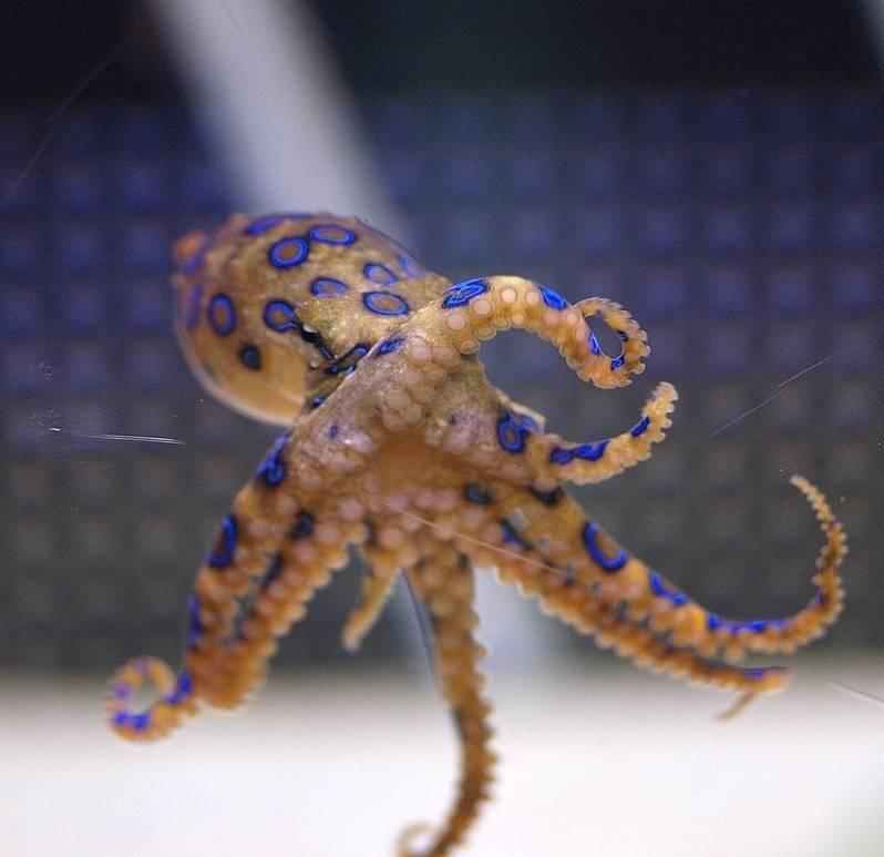 Blue Ring Octopus