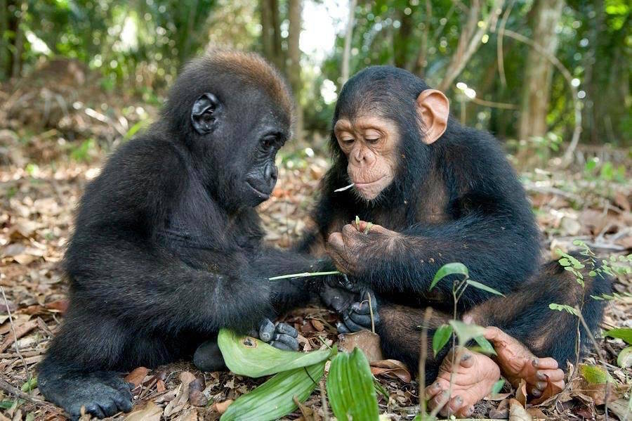Chimp Gorilla