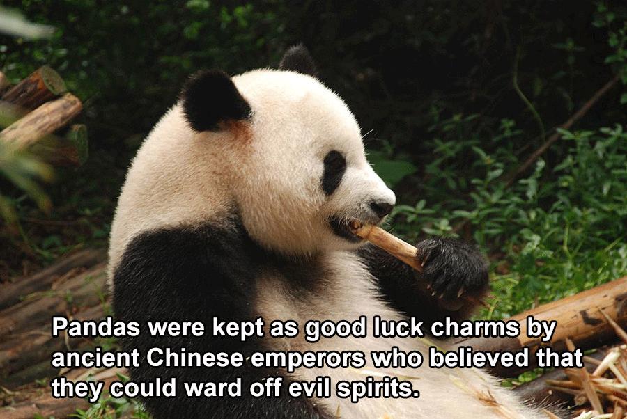China Facts Great Panda